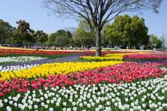 Kiso Sansen Park located in Kaizu City, Gifu Prefecture, is the largest government park in Japan and is home to the famous Tulip Festival.
