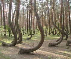 This is a remote forest in Western Poland, where 400 pine trees have grown with a curvature in their trunk structure and it turns out that no one really knows exactly what caused it.