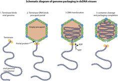 ViralZone: Viral genome packaging