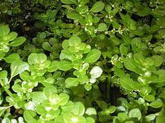 Pilea microphylla, Beldroega, Folha-gorda, Planta-artilheira