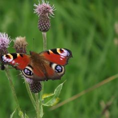 'peacock butterfly on a thistle ' on Picfair.com
