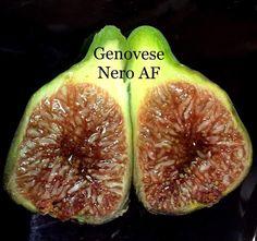 Genovese Nero Propagation, Figs, Fig