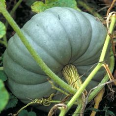 How to Grow Pumpkins Growing pumpkins and squash is simple. Use these tips to get your pumpkin patch started.