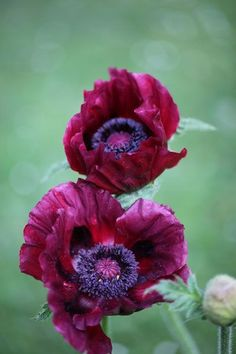 Royal Chocolate poppy -- absolutely stunning!