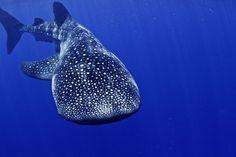 「世界最大の空飛ぶサメ」を見に行こう – こんにちは!ジンベエさん