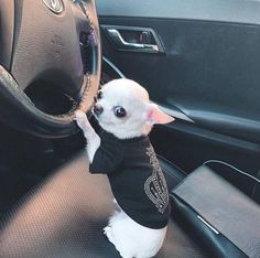 Discovered by Minister Karma ️️️. Find images and videos about white, adorable and chihuahua on We Heart It - the app to get lost in what you love. Cute Animal Memes, Cute Funny Animals, Animal Quotes, Cute Little Animals, Little Dogs, Dog Pictures, Animal Pictures, Funny Pictures, Funny Dog Memes
