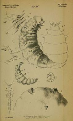 bd. 19 (1869) - Verhandlungen der Kaiserlich-Königlichen Zoologisch-Botanischen Gesellschaft in Wien. - Biodiversity Heritage Library