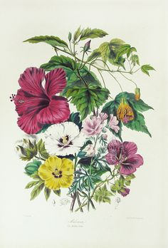 The Mallow Tribe, Cotton & Hibiscus