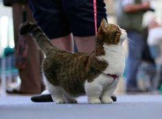 Les chats de la race Munchkins sont les plus mignons du monde - MyFunBuzz