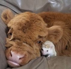 Do you love animals? Well I'll bet you love baby animals even more! Check out these 22 adorable baby animals that will melt your heart! Cute Baby Cow, Baby Animals Super Cute, Baby Cows, Cute Cows, Cute Little Animals, Cute Funny Animals, Baby Giraffes, Fluffy Cows, Fluffy Animals