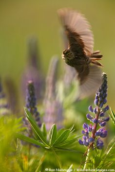 Savannah Sparrow in flight