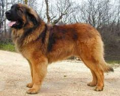 A guy in our new apt building in Chicago had two Leonbergers. I must have one! Big as bears.