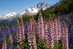 Late Lupine, Cerro Castillo! Every year these are the last wildflowers to bloom, the last to die, under this giant peak, Carretera Austral, XI Region, Chilean Patagonia