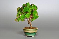 e-盆栽のミニ盆栽ブログ|國井宏