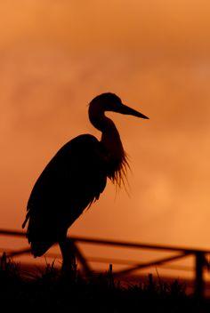 @天王寺動物園/Tennoji Zoo @動物/animal@鳥/bird @たたずむ/Linger @シルエット/Silhouette @夕焼け/Sunset @オレンジ Orange Sky, Silhouette, Birds, Create, Inspiration, Animaux, Photography, Biblical Inspiration, Bird