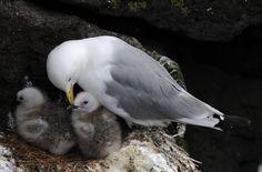 seagull - Rissa tridactyla