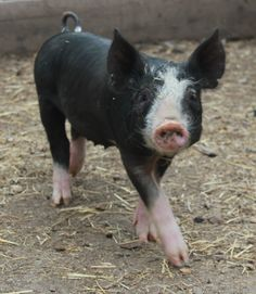 Berkshire pigs are a heritage breed known for the delicious flavor and melt in your mouth texture of their meat.  These are the pigs we'll be raising naturally on the farm.