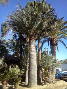 http://myjunglegarden.com/2012/05/jubaea-chilensis/    #garden #palmtres