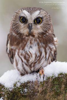 Saw whet Owl - Captive Saw whet Owl.