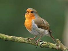 robins - Google Search