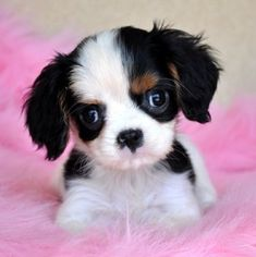 Little King Charles spaniel