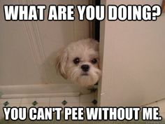what are you doing you cant pee without me - overly attached dog