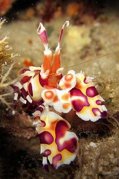 Camarón Arlequín, fue descrito científicamente en 1852 y habita en los océanos Índico y Pacífico. Google+