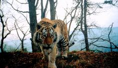 Canine Distemper Could Wipe Out Siberian Tigers, n 2001 a few tigers in Russia started to show signs of obvious distress. Endangered Amur (or Siberian) tigers (Panthera tigris altaica) were underweight, weak, disoriented and incapable of hunting as a result. At least four of the big cats had to be put down after they wandered into towns in search of food.