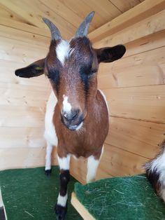 Hallo ich bin die Fiona ... Goats, Animals, Animales, Animaux, Animal Memes, Animal, Goat, Animais, Dieren