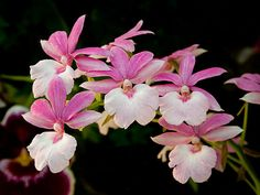 Betty - A pink & white Calanthe orchid  © 2008 Patty Hankins