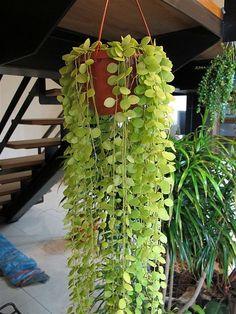 串錢藤學名Dischidia nummularia,蘿藦科,多年生多肉型草本蔓性植物,又名鈕扣玉藤、聚錢藤,原產於澳洲。