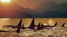 Orca whale pod, northern Gulf Islands, BC by chippep Vancouver City, Vancouver Island, Mount Washington, Canada, Killer Whales, Marine Life, British Columbia, East Coast
