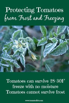 tomatoes from frost and freezing Protecting tomatoes from frost and freezing with Tomato Dirt. Helpful tomato growing tips.Protecting tomatoes from frost and freezing with Tomato Dirt. Helpful tomato growing tips. Freezing Tomatoes, Growing Tomatoes From Seed, Growing Tomato Plants, Growing Tomatoes In Containers, Growing Vegetables, Grow Tomatoes, Baby Tomatoes, Dried Tomatoes, Cherry Tomatoes