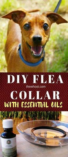 This DIY Flea Collar with essential oils is all natural and it& easy to make and works great. Watch the video tutorial too. Flea Powder For Dogs, Essential Oils For Fleas, Coconut Oil For Fleas, Diy Dog Collar, Oils For Dogs, Cat Health, Videos, Dogs And Puppies, Easy Video