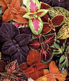 A multi colored selection of Coleus (Solenostemon scutellarioides) varieties.                                                                                                                                                                                 More
