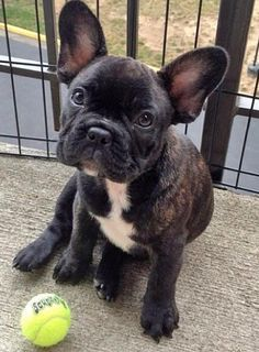 i intend on getting a french bulldog and he will be named either Francois or Gatsby
