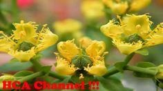 Ruda planta medicinal