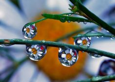 Reflections of Daisies in Rain Drops