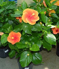 Hibiscus rosa sinensis.........cuidados y .......