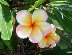 i want a plumeria tattooed on my foot next time i go to hawaii.