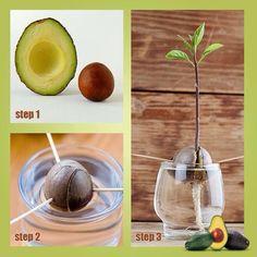 so kannst du avocados selber pflanzen avocado pflanzen und gr n. Black Bedroom Furniture Sets. Home Design Ideas