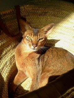 Chanel no 5 abyssinian cats