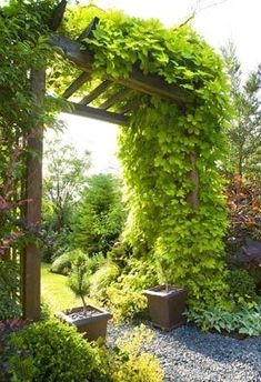 Bianca Golden Hops is a vigorous, decorative climber with similar foliage to a grape vine. Twinning vines with chartreuse leaves turn a lime green Hops Vine, Deck With Pergola, Pergola Ideas, Patio Ideas, Garden Mural, Planting Plan, Window Planter Boxes, Zen, Gardens