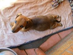 Doxies love to stretch