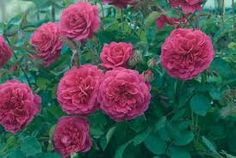 english-roses - Google Search