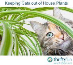 This is a guide about keeping cats out of house plants. House plants are often quite attractive to your cats inspiring digging, munching, and sometimes use as a cat box.