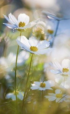 White cosmos. Delicate and dainty, one of my favorites in the summer garden.  Tumblr photo.