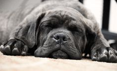 Baby Cane Corso a.k.a. Italian Mastiff- Please oh please!!