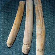 Google Image Result for http://4.bp.blogspot.com/_kxlrXpSMTVo/TBFhvC8AAwI/AAAAAAAAAZU/eASzH4IOv-0/s320/shells-razor-clam-l.jpg