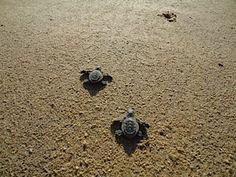 la paz mexico... relasing sea turtles